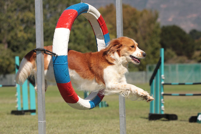 Hund beim Agility Training