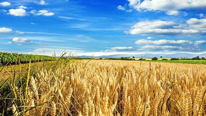 Landschaft mit einem Getreidefeld-Hundfutter mit oder ohne Getreide?